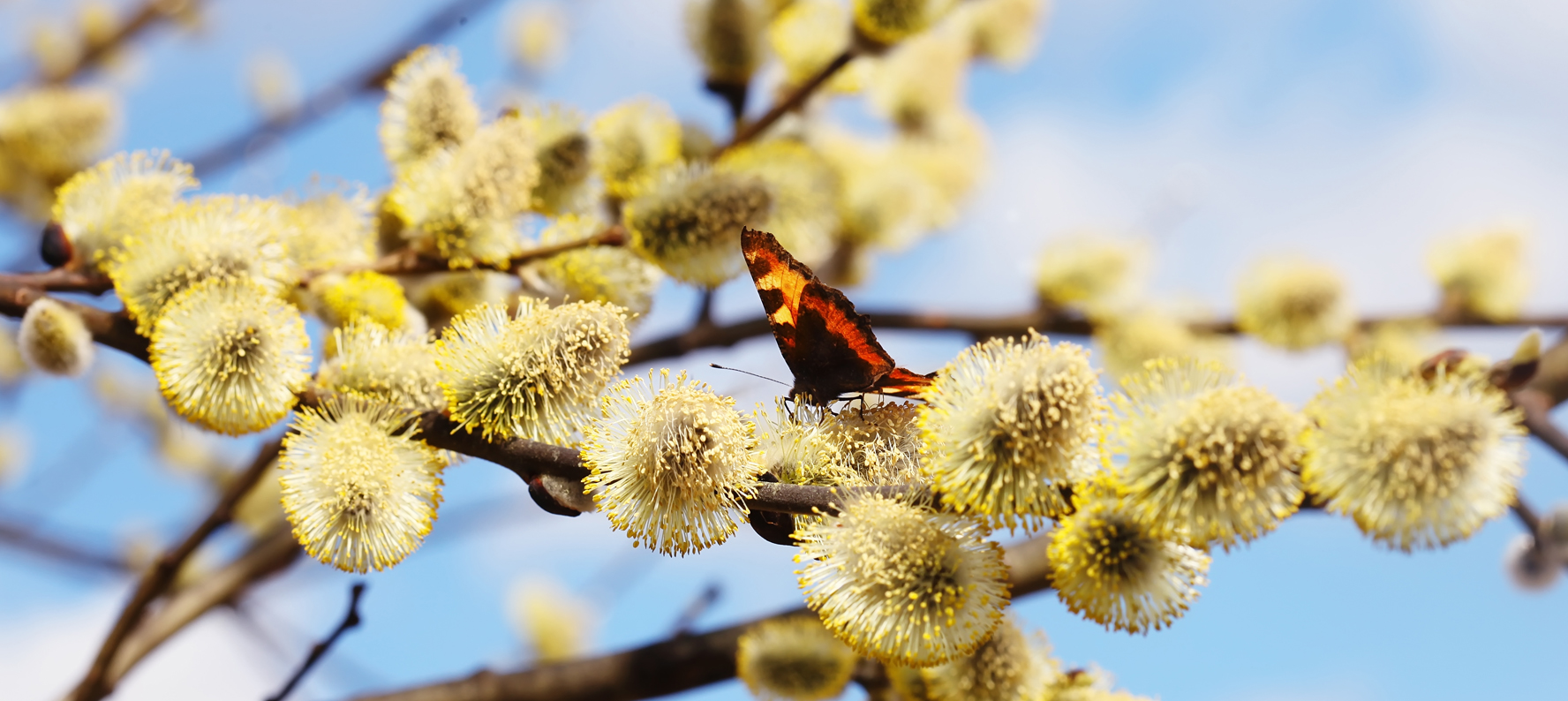 Black willow bark Extract is used in natural skin care products for its astringent, antiseptic, anti-inflammatory and antipyretic properties. Willow Bark Extract is a source of natural salicylic acid-like ingredients.
