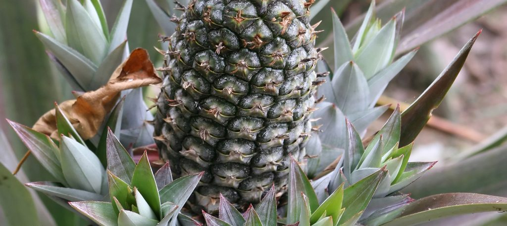 Bromelain is used in natural skin care products for its anti-inflammatory and scar tissue dissolving properties.