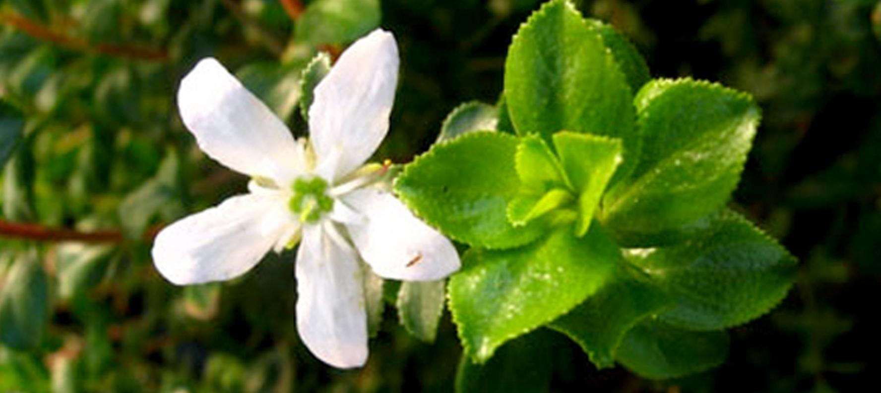 Agathosma Betulina Buchu Essential Oil uses in natural skin care products