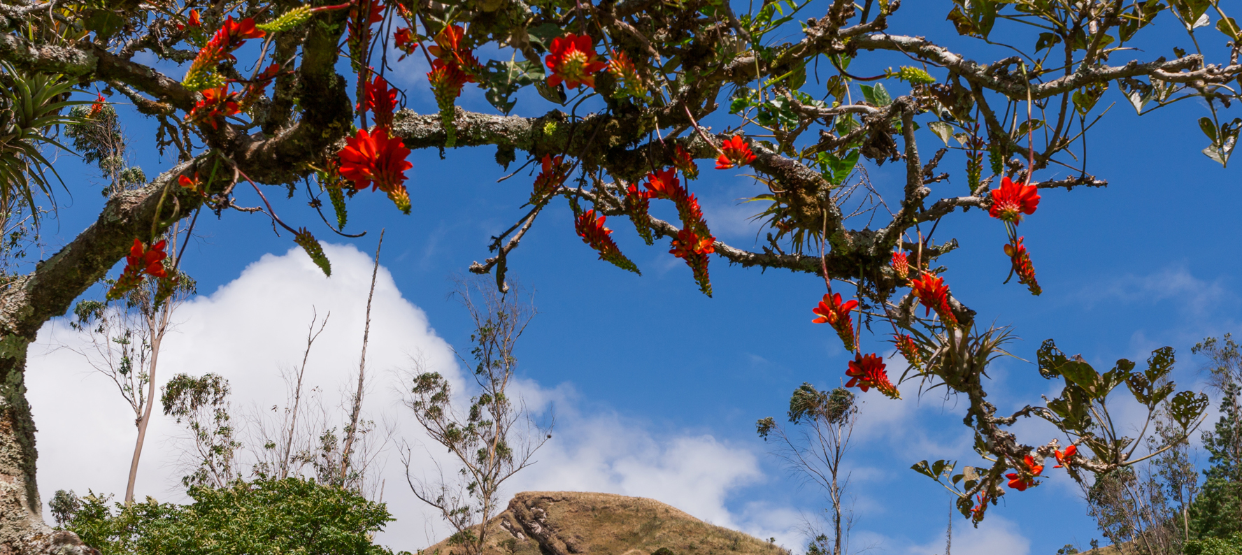 Andean Tree Caesalpinia Spinosa uses in natural skin care