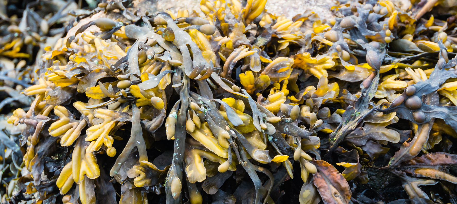 Bladderwrack is used in natural skin care products for its antioxidant and skin regeneration properties.